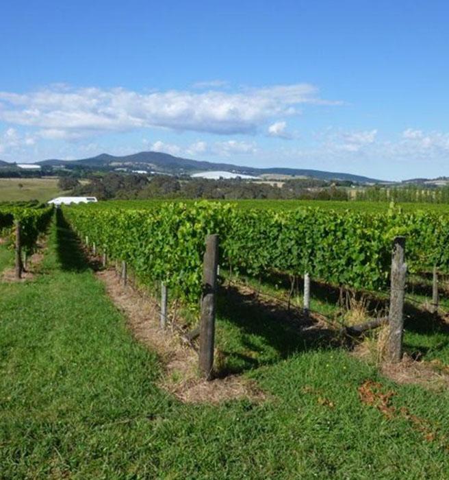vineyard1-400x700